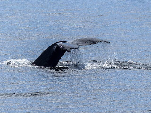 Humpback Whale, Tail Fin, Natural Spectacle, Nature