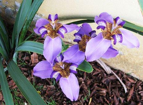 Neomarica Caerulea, Fake Iris, Purple Lily Of Rocks