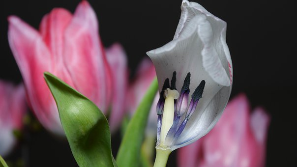 Tulip, Faded, Flowers, Ovule, Seeds Was, Seeds, Flower