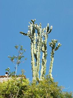 Cactus, Plant, Prickly, Euphorbia Ingens