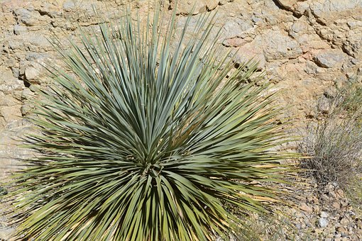 Yucca, Plant, Desert, Texas, Park, Green, Perennial