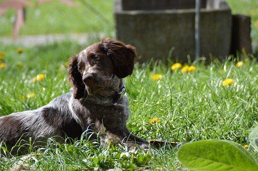 Dog, German Quail, Puppy