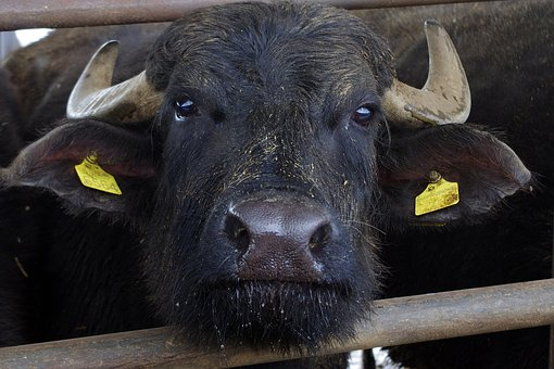Italian Buffalo, Buffalo, Paestum, Salerno, Mozzarella