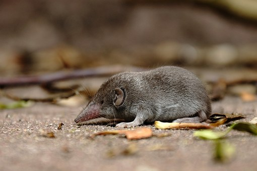 Shrew, Mouse, Grey, Nature, Rodent