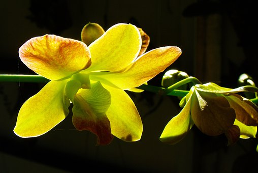 Orchid, Yellow, Blossom, Bloom, Transmitted Light