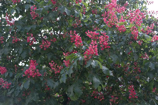 Red Buckeye, Inflorescence, Chestnut Tree, Tree