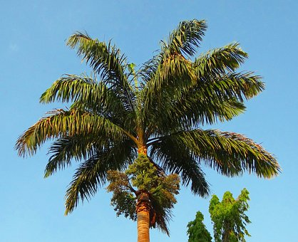 Royal Palm, Palm, Roystonea Regia, Arecaceae, Tree