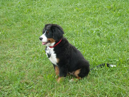 Dog, Puppy, Berner Sennen Dog, Meadow, Portrait