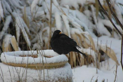 Bird, Snow, Black, Nature, Winter, Cold, Merle, Animals