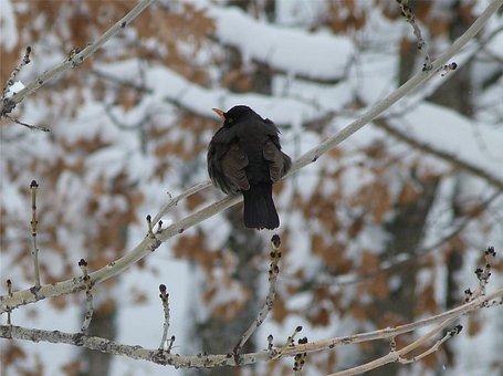Birds, Animals, Merle, Black, Winter, Snow, Cold