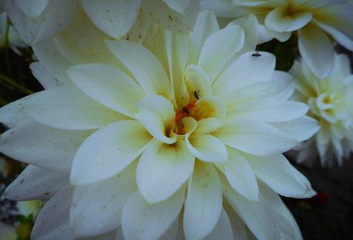 Dalia, Bloom, White, Nice, Flower