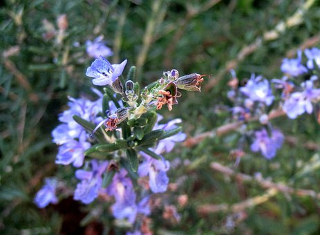 Rosemary, Herb, Pungent, Purple, Blue, Danty Flowers
