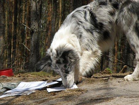 Dog, Merle, Blue Merle, Collie, Puppy, čuchat