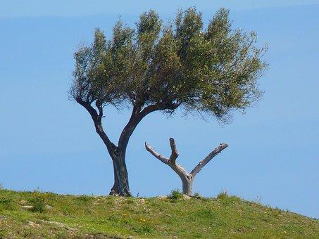 Tree, Olive Tree, Wind, Crooked
