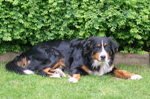 Berner Sennen Dog, Dog, Purebred Dog, Bavaria, Bitch