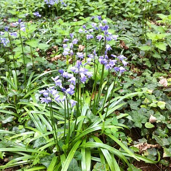 Bluebells, Flowers, Blue, Small, Flowering, Plants