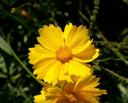 Yellow, Cosmos, Flowers, Cosmos Sulphureus