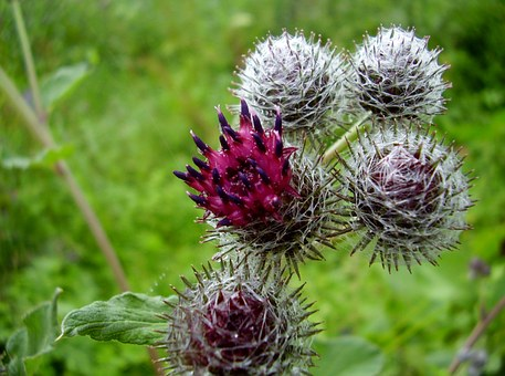 Thistle, Plant, Fucking, Prickly