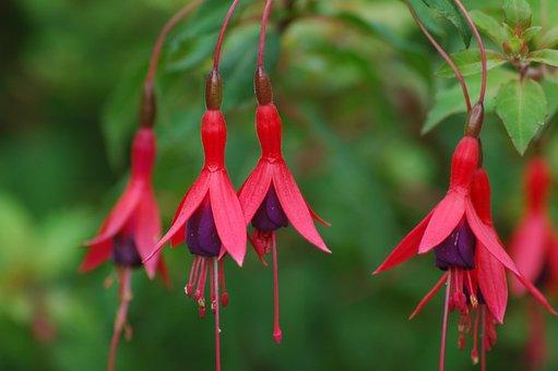 Fuchsia, Hardy, Garden, Plant, Ornamental Plant