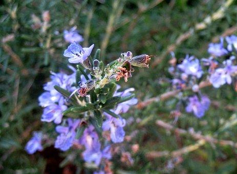 Rosemary, Herb, Pungent, Purple, Blue, Danty Flowers