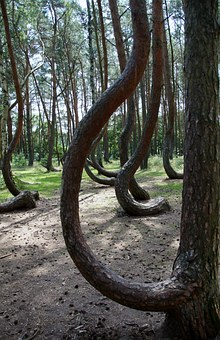 Crooked Forest, Krzywy Las, Poland, Trees, Forest, Pine