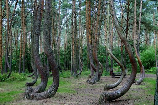 Crooked Forest, Krzywy Las, Poland, Pine, Trees, Forest