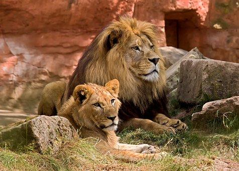 Lion, Wildlife, Predator, Zoo, Africa, Animal World
