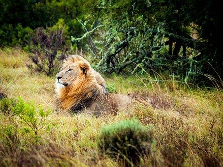 Lion, South Africa, Safari, Wildlife, Wildcat, Savannah