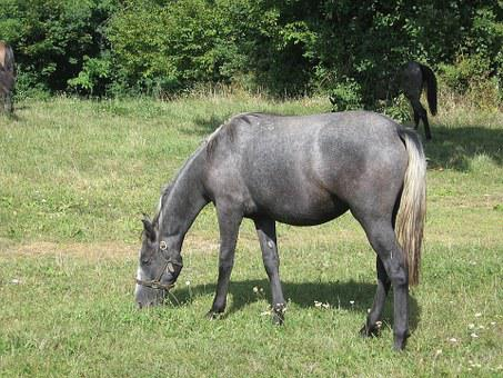 Lipizzaner, Young Animal, Horse, Stud, Lipica, Slovenia