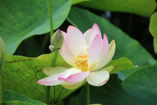 Lotus Flower, August, Aquatic Plant, Hardy
