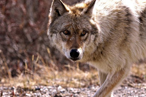 Wolf, Animal, Nature, Wild, Wildlife, Mammal, Predator