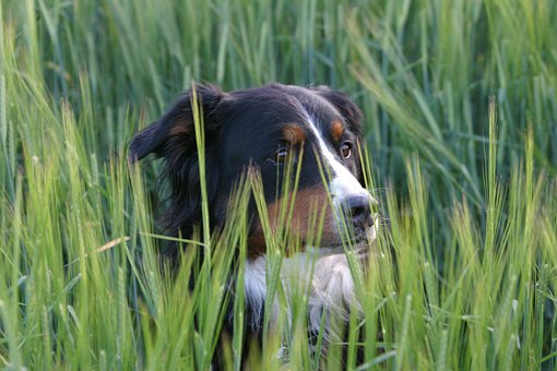 Dog, Berner Sennen Dog, Meadow, Portrait