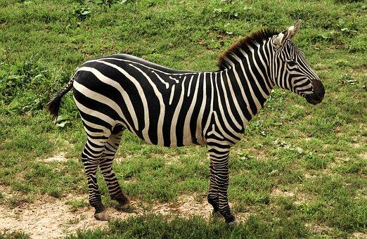 Zebra, Grant's Zebra, Dquus Quagga Goehmi, Plains Zebra