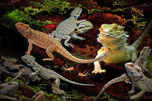 Animals, Lizards, Agamas, Pogona Bearded Dragons