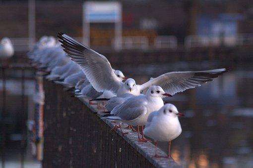Seagull, Gulls, Berlin, Spree, Railing, Diagonal, Bird