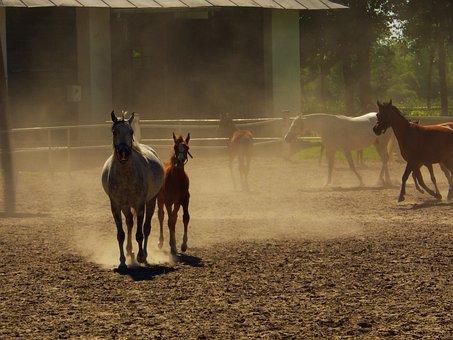 Arabian Horse, Janow Podlaski, Stud, Stocks, Horse