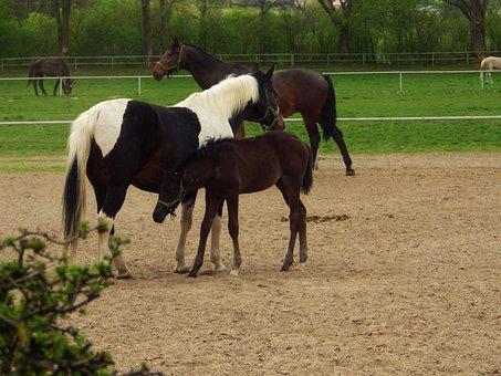 Stud, Janow Podlaski, Arabian Horse