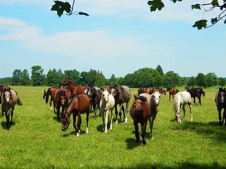 Janow Podlaski, Horse, Stocks, Stud, Arabian Horse