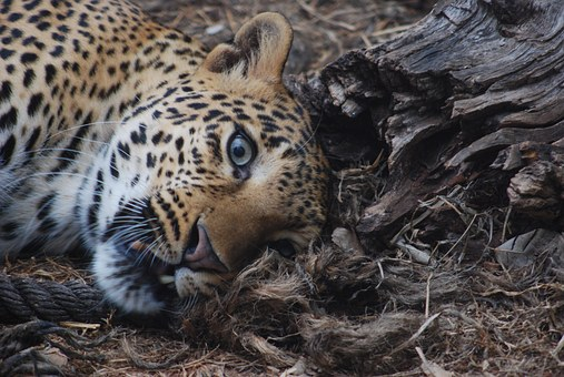 Cheetah, Animal, Tiger Temple, Thailand, Charmeuse