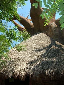 Baobab, Tree, Crooked, Cottage, Straw