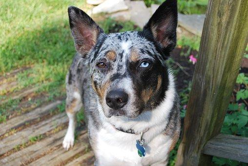 Tri Merle Koolie, Dog, Cattle Dog, Flowers