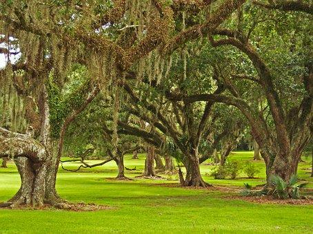 Oaks, Nature, Trees, Moss, Spanish Moss, Bayou