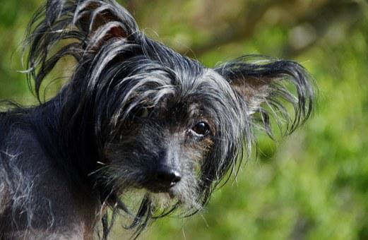 Dog, View, Chinese Crested Dog, Hairless Dog, Black