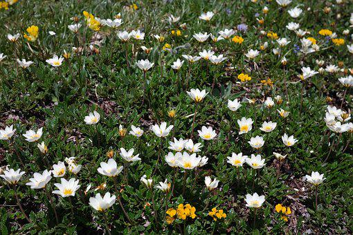 Dryas Octopetala, Flower, Blossom, Bloom, Alpine Flower