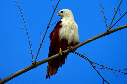 Brahminy, Kite, Haliastur Indus, Fauna, Bird Of Prey