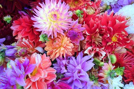 Flowers, Dahlia, Background, Colourful, Beautiful