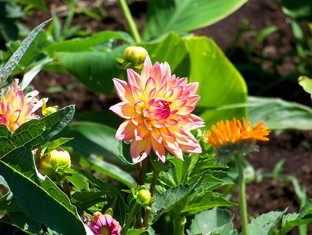 Flowers, Dahlias, Garden, Blooms, Blooming, Blossoms
