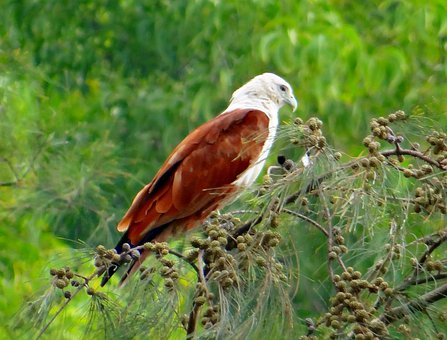Brahminy Kite, Eagle, Red-backed Sea-eagle