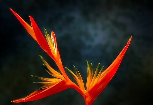 Bird Of Paradise, Flower, Paradiesvogelblume, Exotic