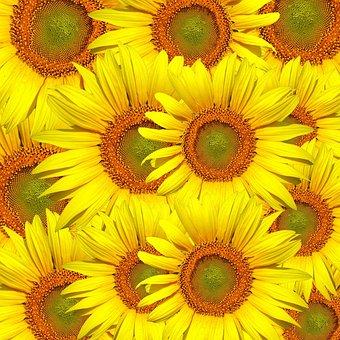 Sunflowers, Sunflower, Flower, Floral, Nature